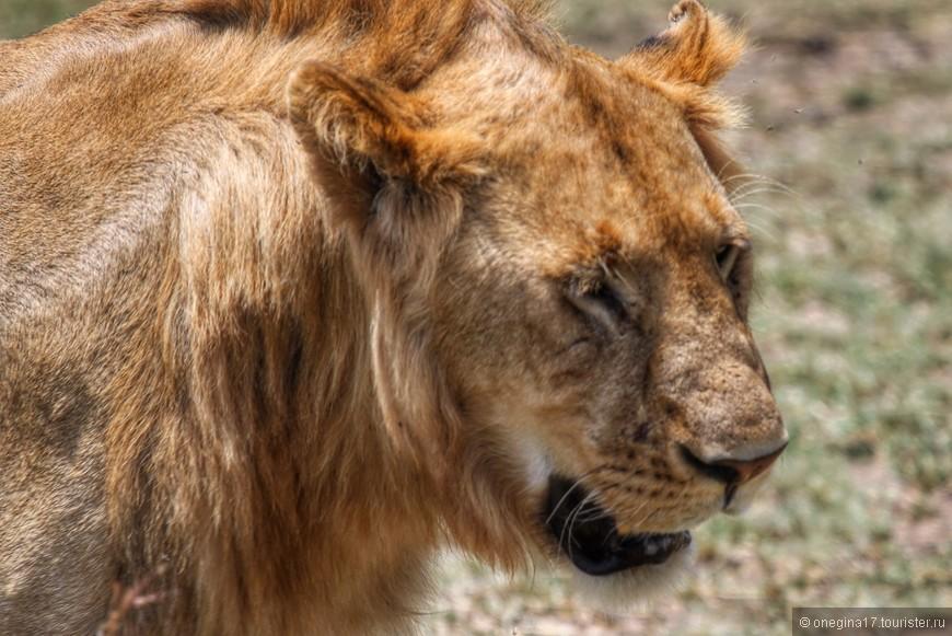 """Масаи-Мара. Лев. На первый взгляд, все львы совершенно похожи. На самом деле - очень разные. У всех свое """"лицо"""", свой характер. Мудрость и опыт некоторых львов написаны на их покрытой шрамами морде..."""