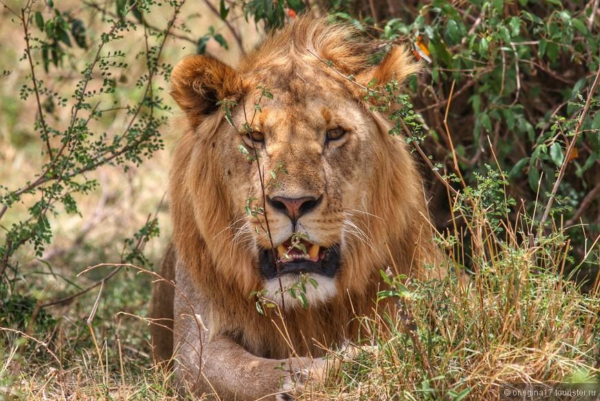 Масаи-Мара. еще один лев. Уже на второй день нашего сафари, львы перестали вызывать бешеный восторг - львов очень много! Но все равно, встреча с ними каждый раз была радостной - где еще они будут так близко и не за решеткой. Здесь: в Африке, они настоящие цари...