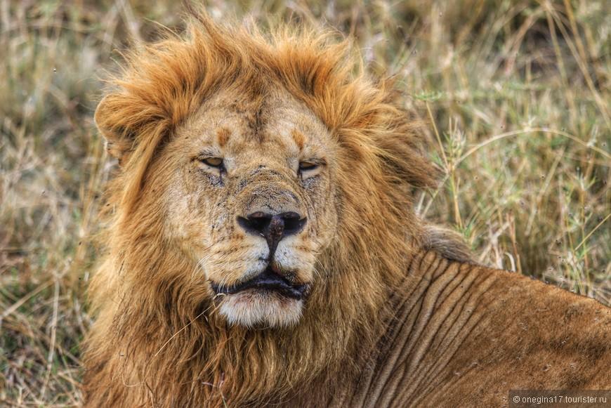 Масаи-Мара. Лев спал. нашел тощую тень и спал, передвигаясь за уползающей тенью. Двигался он, не открывая глаз. Так же сонно и лениво отгонял одолевавших его мух. Рычать было лениво даже на нас, но глаз приоткрыл, мало ли...