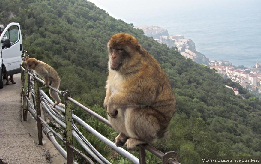 Гибралтарские макаки. Это приличные обезьяны, они не стащат у человека ни головной убор, ни очки, ни сумку, но если поставить сумку на землю - распотрошат тут же в поисках еды. И ни в коем случае нельзя при них  что-нибудь есть, об этом предупреждают, но почему-то на скале есть киоски, в том числе и с мороженым.