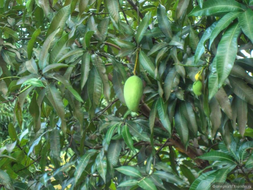 За забором растет не кислая вишня или зеленое яблоко, а самое настоящее манго. Деревья вымахивают, чисто наши дубы могучие. Собирать эти манго, не сейшельских рук дело. А вот летучие лисицы, обитающие тут в огромном количестве, манго любят, и получить по голове переспелым фруктом очень даже можно - не со зла, а потому что в лапках удержать не смогут...