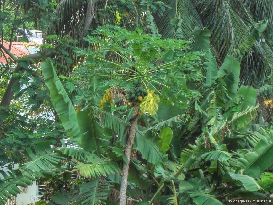 Не любите сладкое манго, есть не менее сладкие папайи. Тоже за забором, вдоль дороги. И тоже лакомятся ими лисицы, срывая фрукты на бреющем полете. А сейшельцы покупают в магазинах за несусветные деньги сморщенные яблоки из Европы. Мода у них, видно, такая...