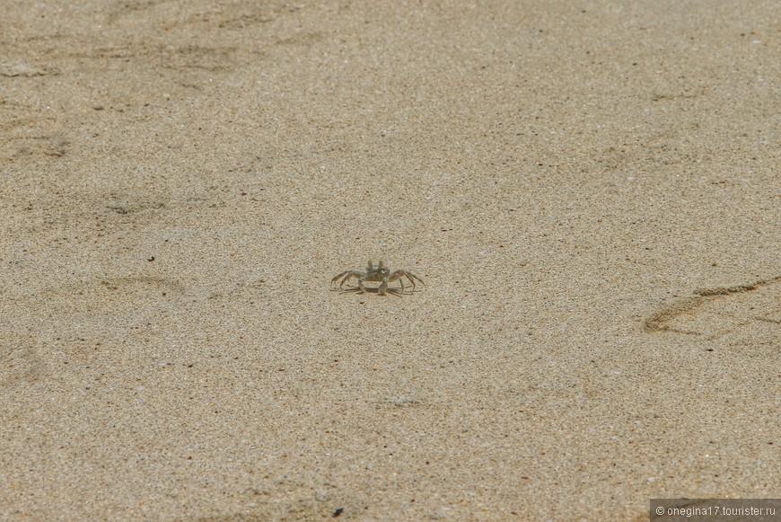 Краб сейшельский - лучший способ не умереть от безделья. Гоняясь за ними по пляжу, я разгоняла скуку, удовлетворяла азарт охотника и пыталась угадать, с какой стороны взметнется тучка песка, предшествующая появлению крабика.