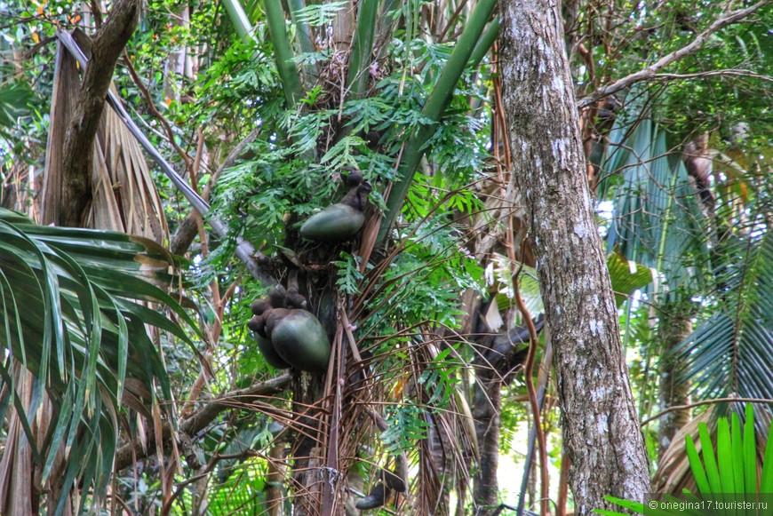 В заповеднике спасают кокосы от полного исчезновения. Уходить под пальмы опасно для жизни - удар коксом по голове может оказаться последним впечатлением в жизни...