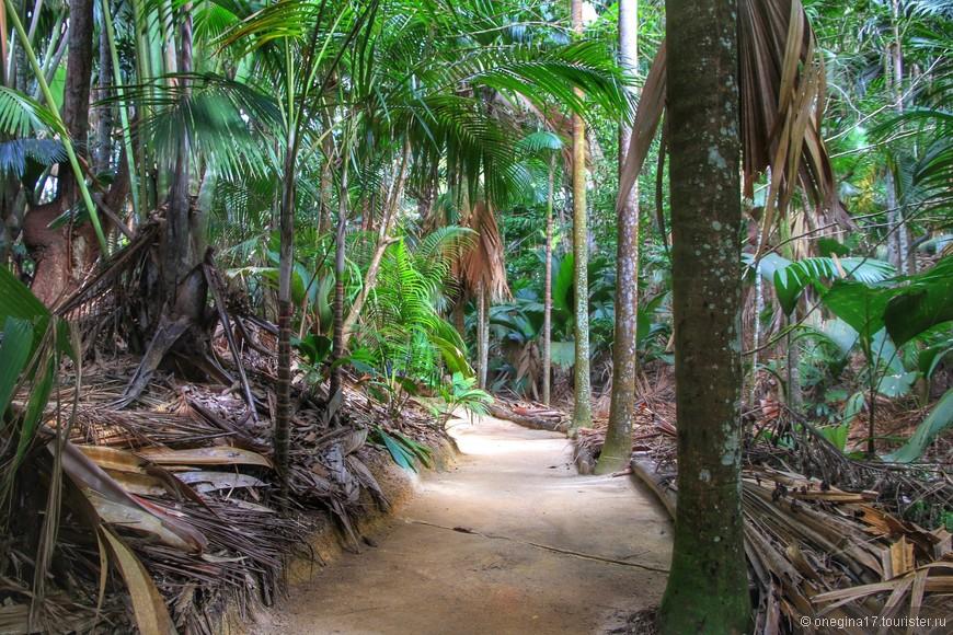 В кокосовом лесу никто и никогда не убирает отжившее свой век - настоящие дебри необходимы Коко де Мер для воспроизводства. Растет такая пальма очень долго, почти 200 лет женская и до 1000 лет мужская, но что вырастет - женская или мужская особь, не понятно лет эдак 25.