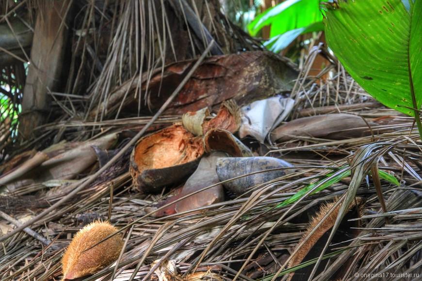 С пальм все время срываются кокосы и их чешуйки. Пальмам совсем не страшны сильные ветра острова - пальма качается, но вырвать ее с корнем ветрам не под силу.
