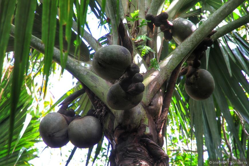 Так растут пальмы-девочки.
