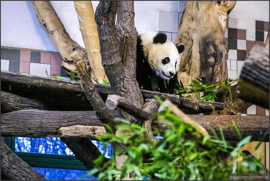 В 2007 году произошла следующая меровая сенсация:  в зоопарке  родился медвежонок-панда по имени Фу Лонг, зачатый естественным путём.