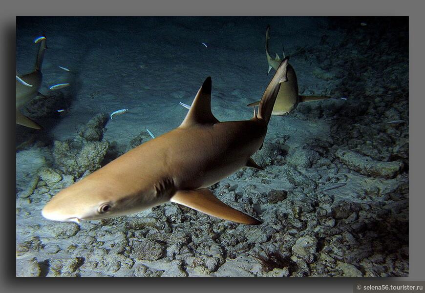 Такие акулы  (около 1.5- 2 м. ) прогоняли нас со своей территории,когда мы заплывали на дальнее расстояние за водными бунгало.