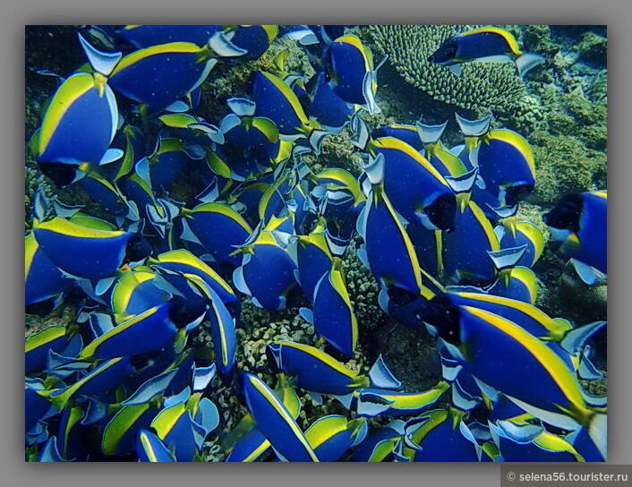 Рыбы -белогрудые хирурги очень красивыми стайками  роятся над кораллами.