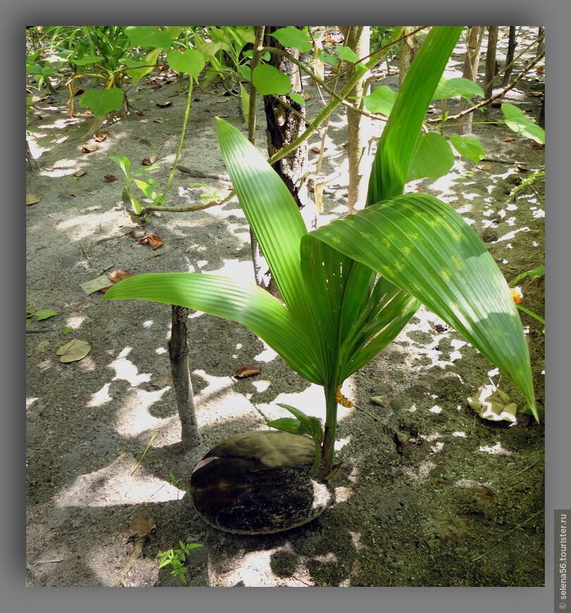 Такие саженцы  кокосовых пальм из островного питомника ,все желающие могут приобрести и посадить на указанном месте.