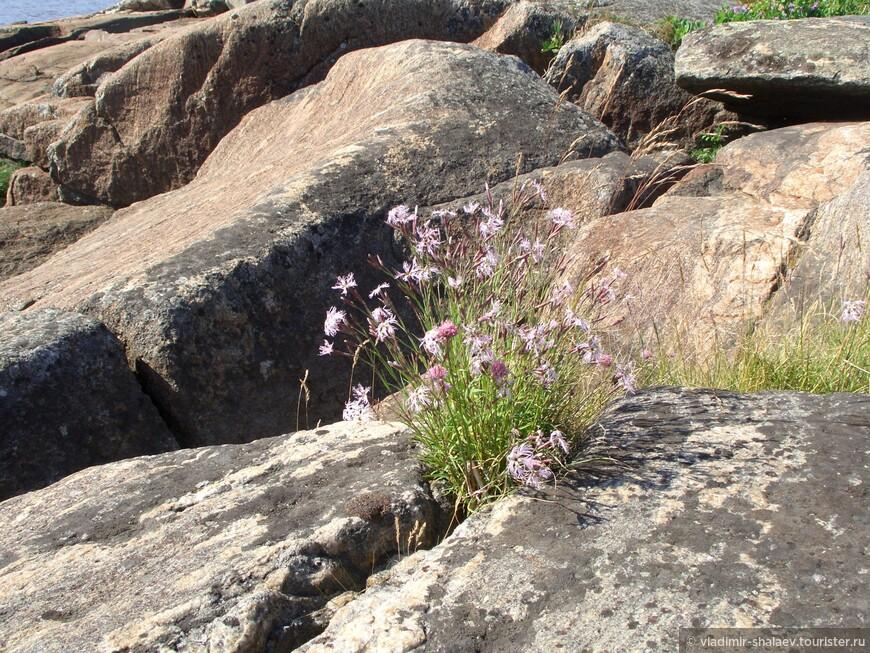 На острове Кий большое разнообразие растений и ягод, Полевая гвоздика.