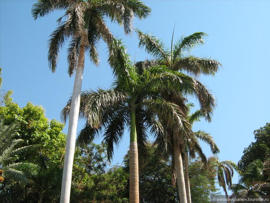 Необычные пальмы в Асуанском Ботаническом сад на острове Китченера.