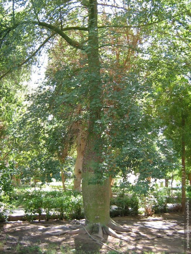 Бутылочное дерево в Ботаническом саду на острове Китченера в Асуане.