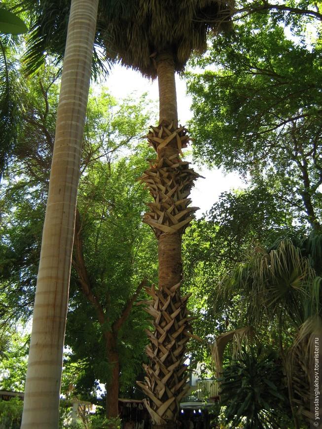 Самая необычная пальма в Ботаническом саду на острове Китченера в Асуане.