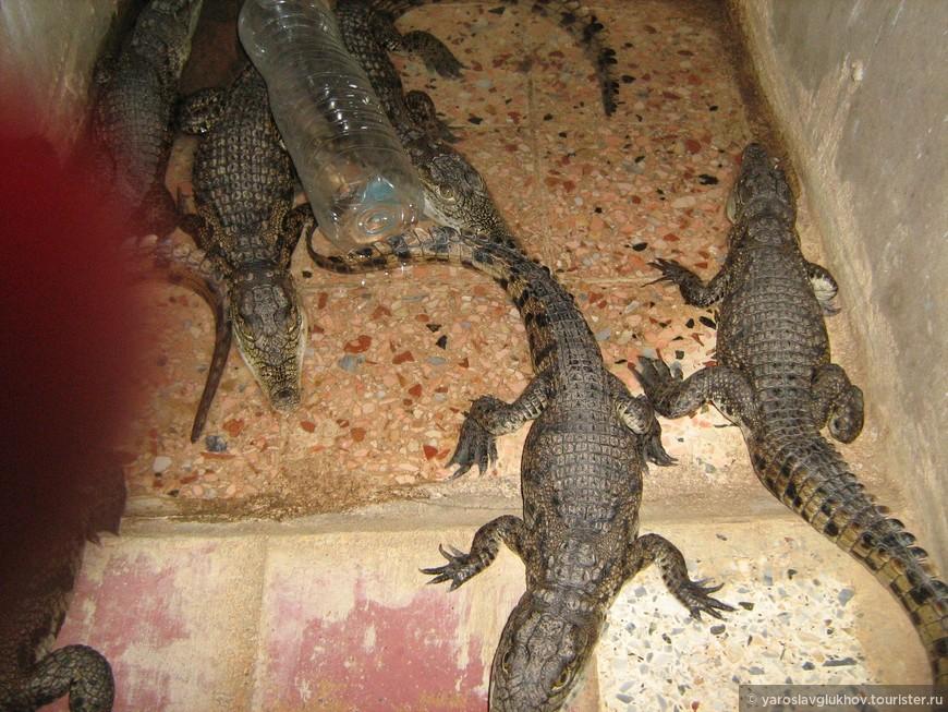 Крокодильчики на крокодиловой ферме в нубийской деревне возле Асуана.