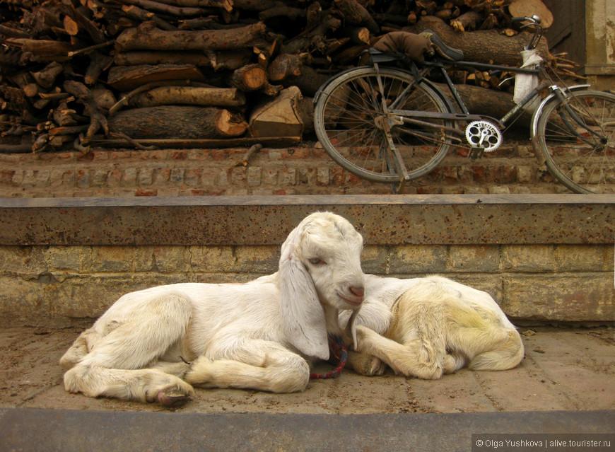 Это ступени, ведущие к Ганге (так называемые гаты, являющиеся одной из самых главных достопримечательностей Варанаси) и очередная партия загорающей на этих ступенях живности... ))))))