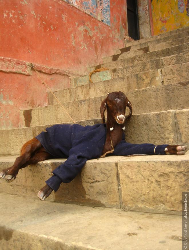 Коза, видимо, одетая по последней моде, и тоже загорающая на гатах возле Ганги... ))))) К фотосессии явно подготовилась... )))))