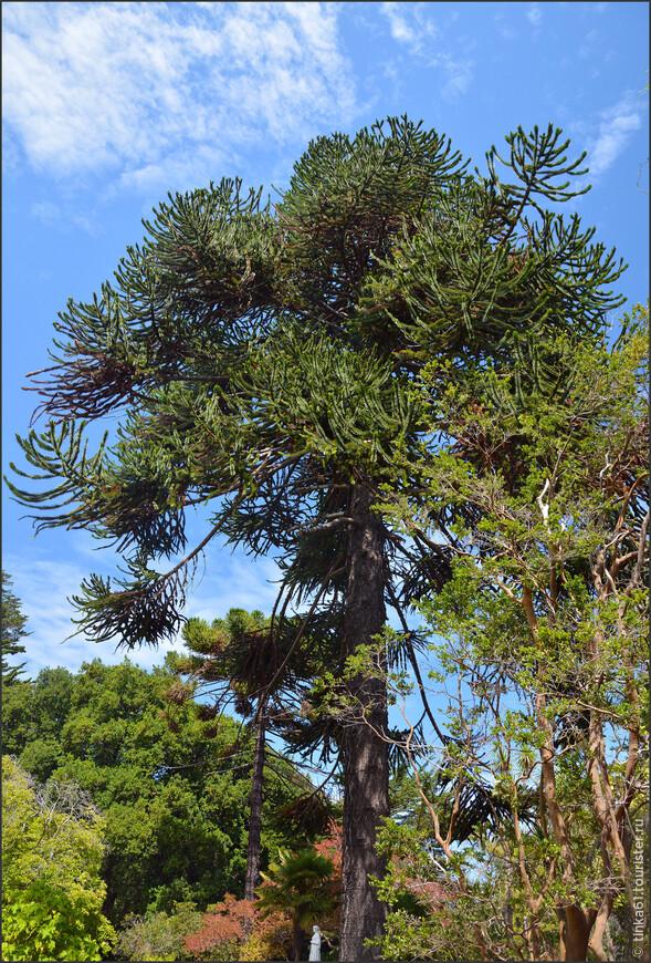 Самое типичное дерево Чили - араукария.