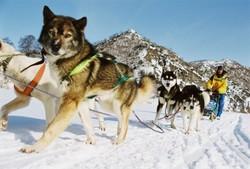 На Камчатке открывается юбилейная гонка на собаках «Берингия»