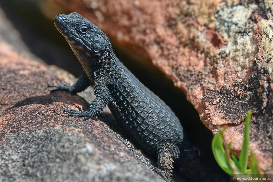 Обыкновенный поясохвост, Cordylus cordylus, Cape girdled lizard