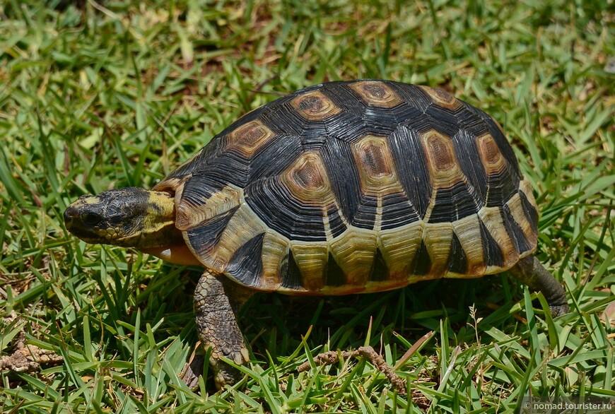 Клювогрудая черепаха, Chersina angulata, Angulate tortoise