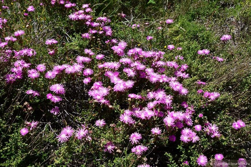 Фенокома плодовитая, Phaenocoma prolifera, Cape pink everlasting