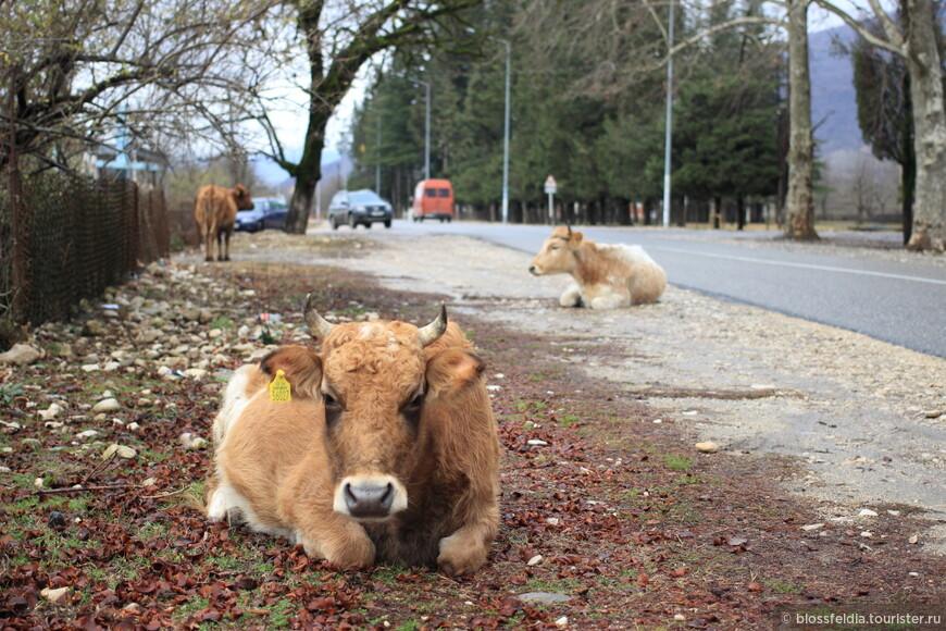 Коровки в Грузии оделись в зимнюю шубу