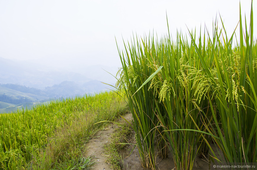 Но настоящим «царём» китайской кухни, конечно, является рис.