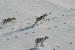 Туристам запретили пугать оленей на Приполярном Урале