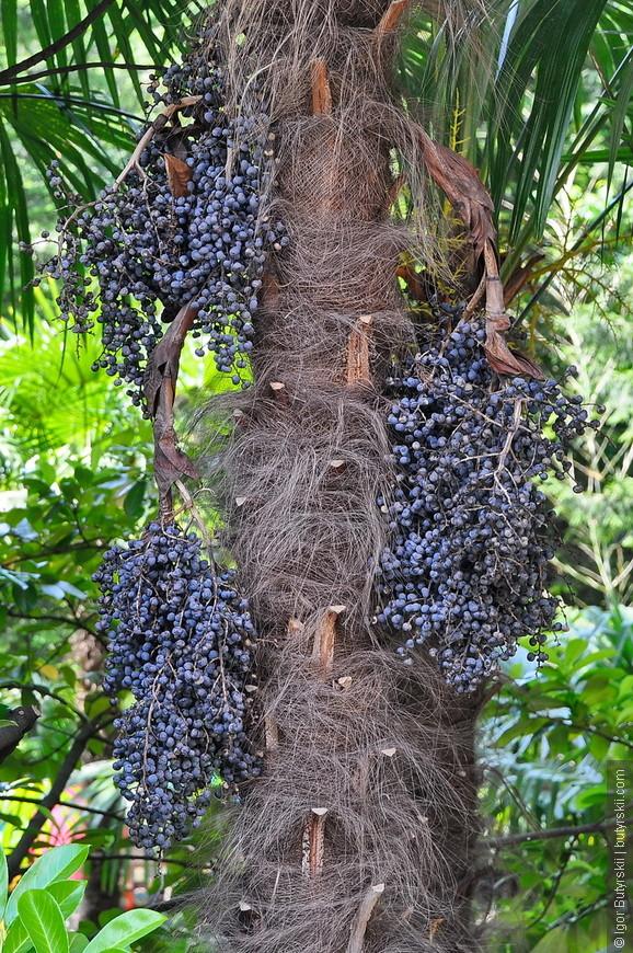 29. По виду вроде бы виноград, но дерево на котором растет не похоже на виноградное.