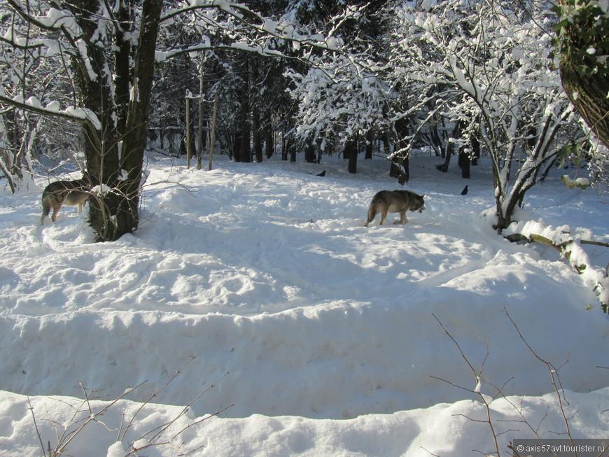Стая волков так и ходила по протоптанной тропинке по кругу. Шерсть у них была гладкой, лоснящейся и, как мне показалось, их расчесали.