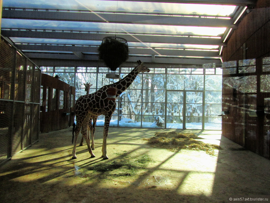 """Потолок """"давит"""" на жирафа. Ничего, летом будет вольготнее."""