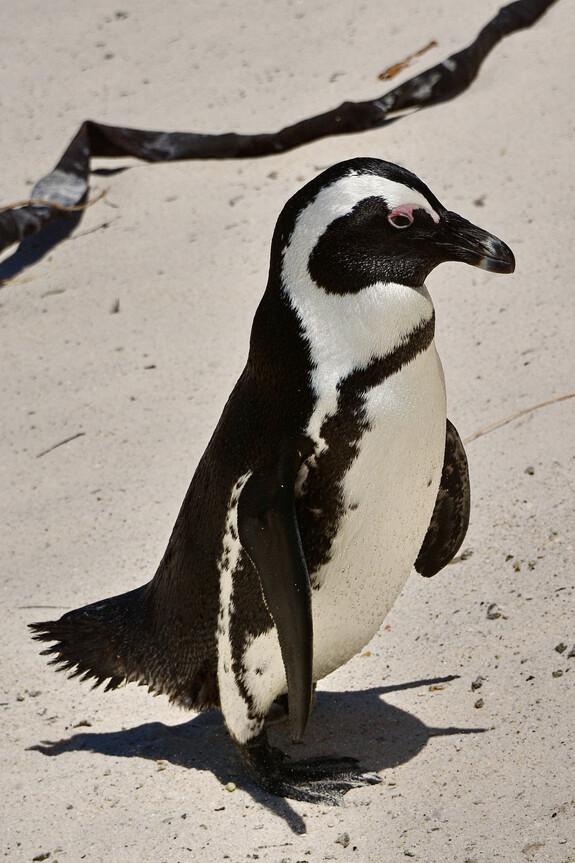 Очковый пингвин, Spheniscus demersus, African Penguin, эндемик
