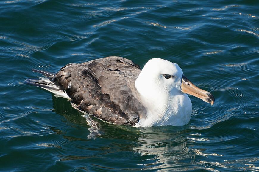 Чернобровый альбатрос, Thalassarche melanophris, Black-browed Albatross