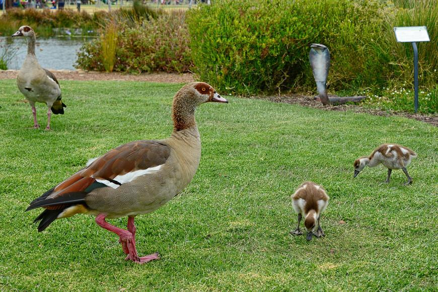 Нильский гусь, Alopochen aegyptiaca, Egyptian Goose