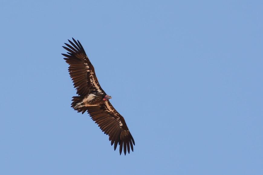 Африканский ушастый гриф, Torgos tracheliotus, Lappet-faced Vulture