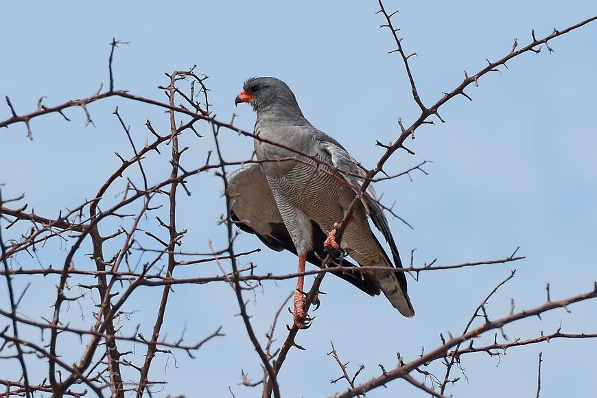Светлый певчий ястреб, Melierax canorus, Pale Chanting Goshawk