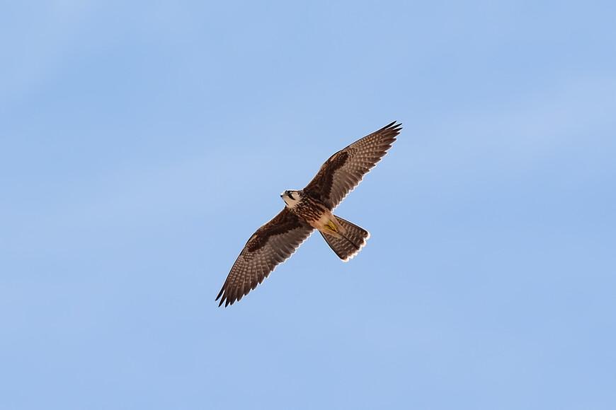 Средиземноморский сокол, Falco biarmicus, Lanner Falcon