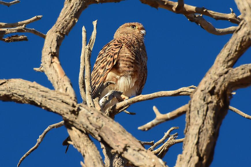 Большая пустельга, Falco rupicoloides, Greater Kestrel