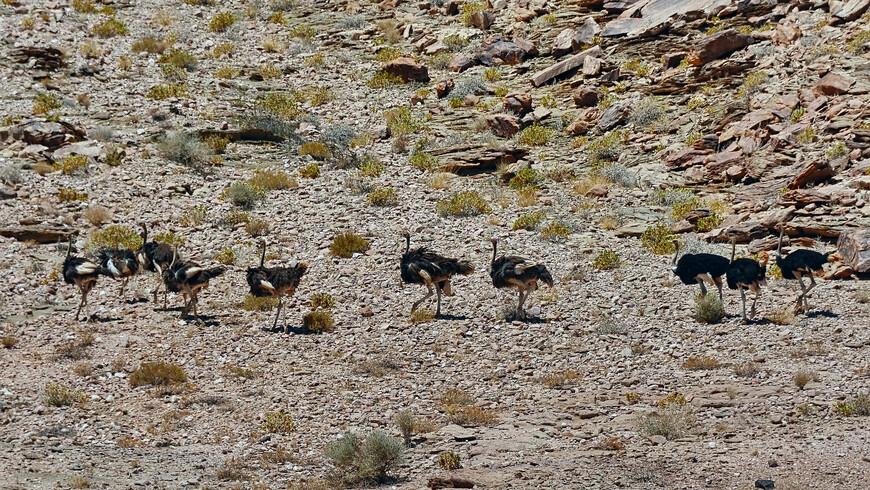 Страус обыкновенный, Struthio camelus camelus, Common Ostrich, в интерьере пустыни Намиб...