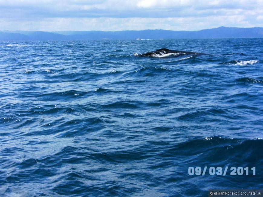 Горбатый кит с детенышем, вернее, то что успели сфотографировать.