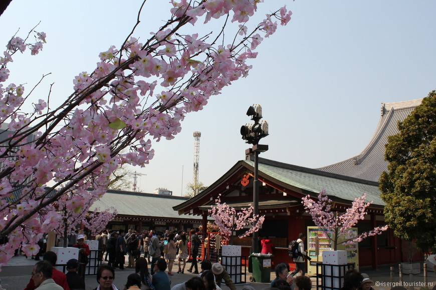 Эти деревья сакуры словно посажены в цветочные горшки.