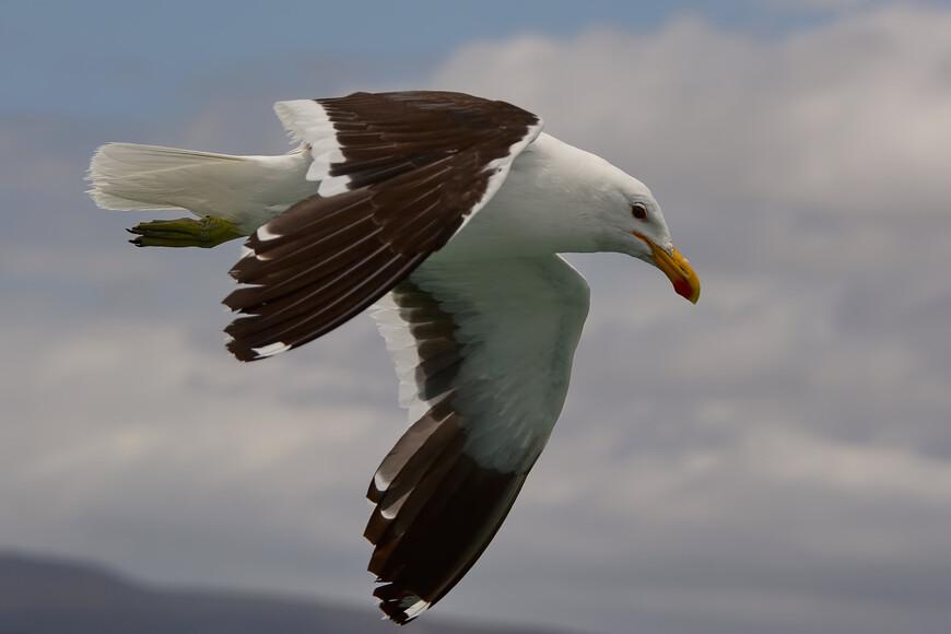 Доминиканская чайка, Larus dominicanus, Kelp Gull