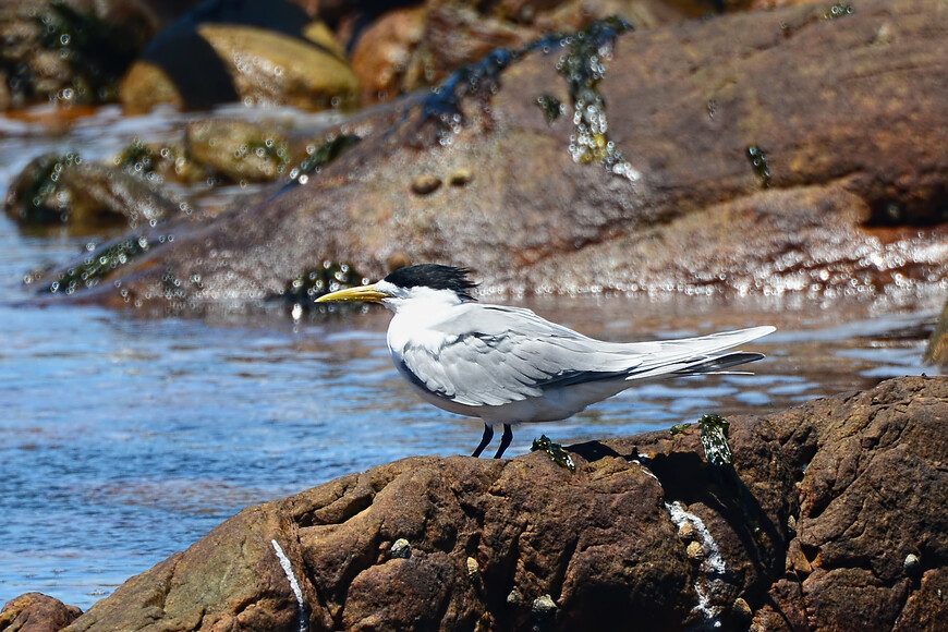 Крачка Берга, Thalasseus bergii, Swift Tern