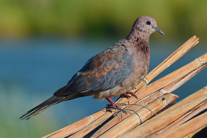 Малая горлица, Streptopelia senegalensis, Laughing Dove