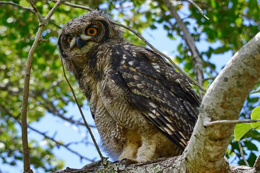 Африканский филин, Bubo africanus, Spotted Eagle-owl
