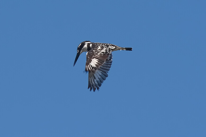 Малый пегий зимородок, Ceryle rudis, Pied Kingfisher