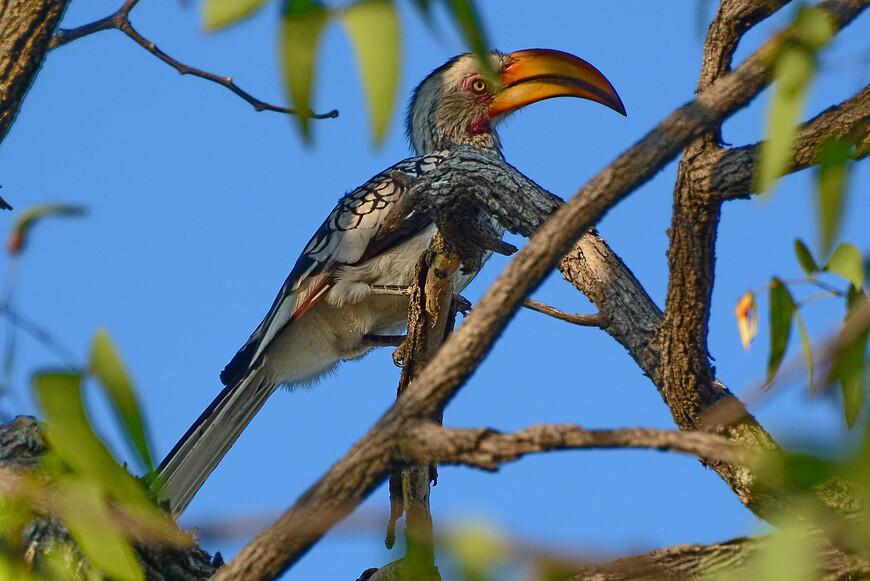 Южный желтоклювый ток, Tockus leucomelas, Southern Yellow-billed Hornbill