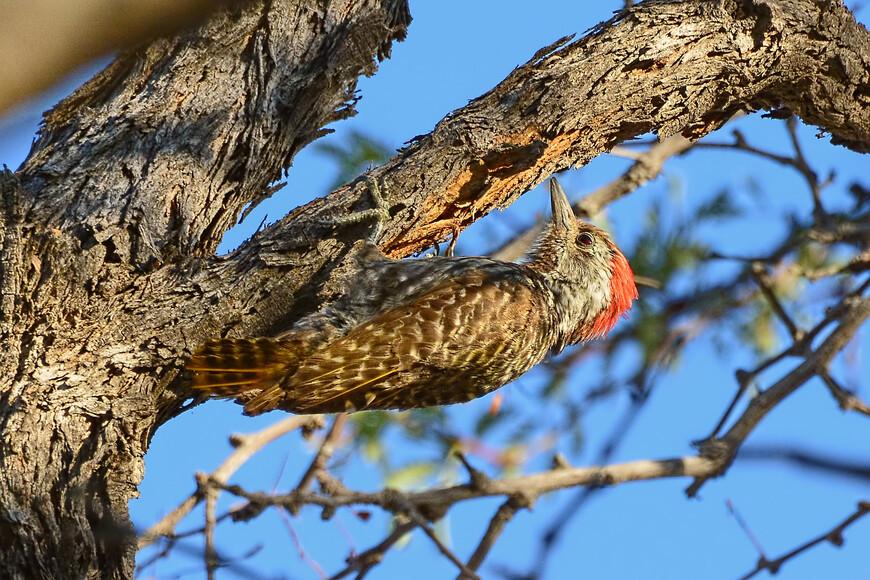 Кардинальский саванный дятел, Dendropicos fuscescens, Cardinal Woodpecker